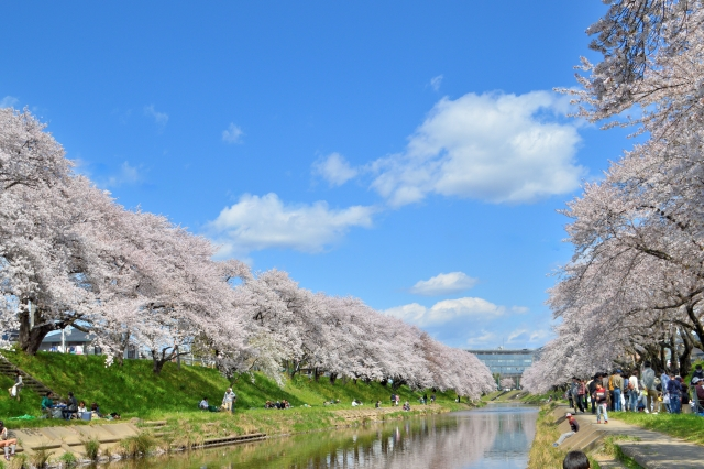 新境川の「百十郎桜」